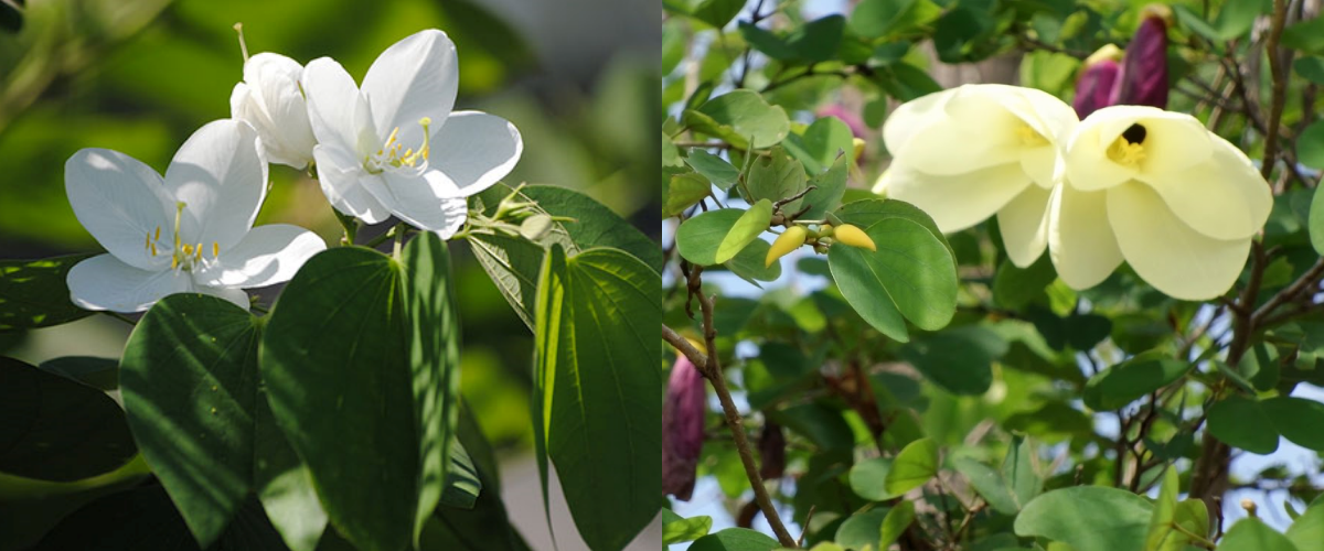 Galong Flower