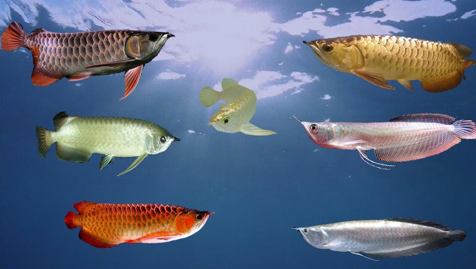 ปลามังกร