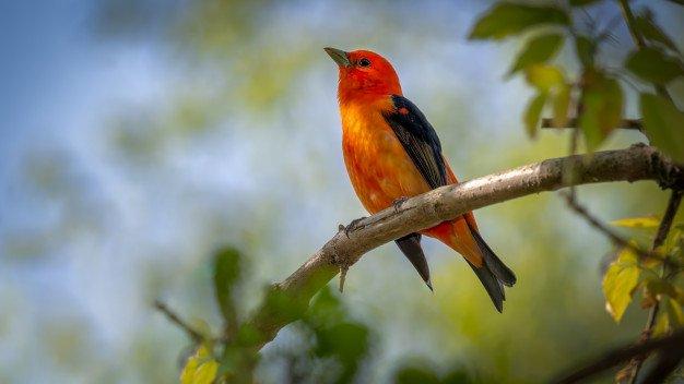 Scarlet Tanager Branch 181624 6092