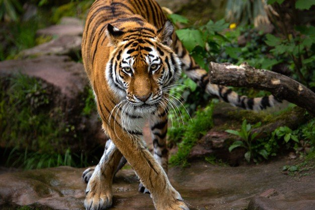 Beautiful Shot Tiger Standing Forest During Daytime 181624 19728