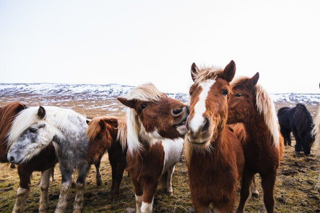 Closeup Icelandic Horses Field Covered Snow Grass Iceland 181624 11834