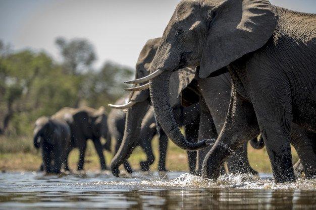Elephants Drinking Water 181624 5984