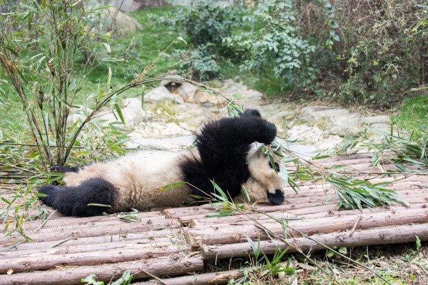 ฝันเห็นหมีแพนด้า