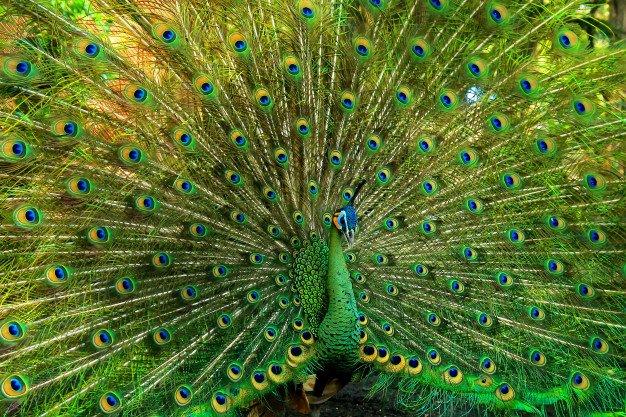 Very Beautiful Green Peacock 12091 161