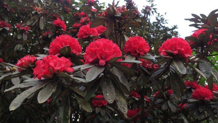 ดอกกุหลาบพันปีสีแดง