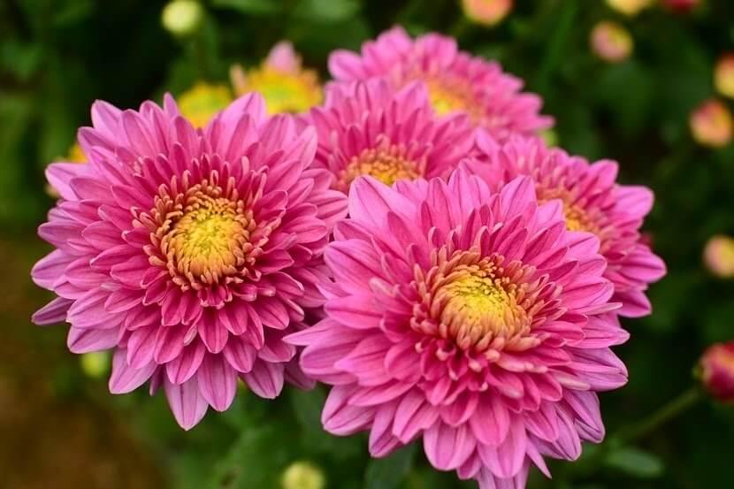 ดอกเบญจมาศสีชมพุ
