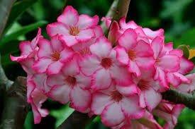 ดอกไม้ดอกชวนชม