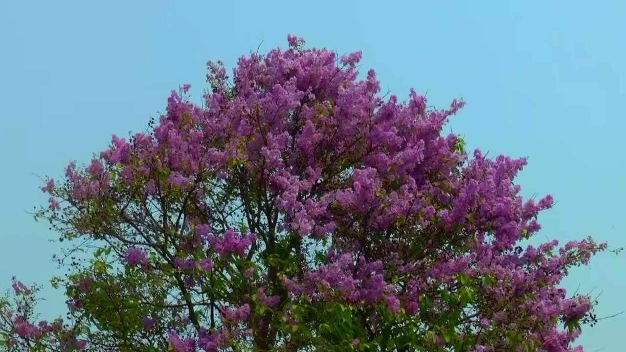 ดอกตะแบกสีม่วง