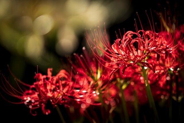 ดอกฮิกันบานะ ดอกเข็มพิษ
