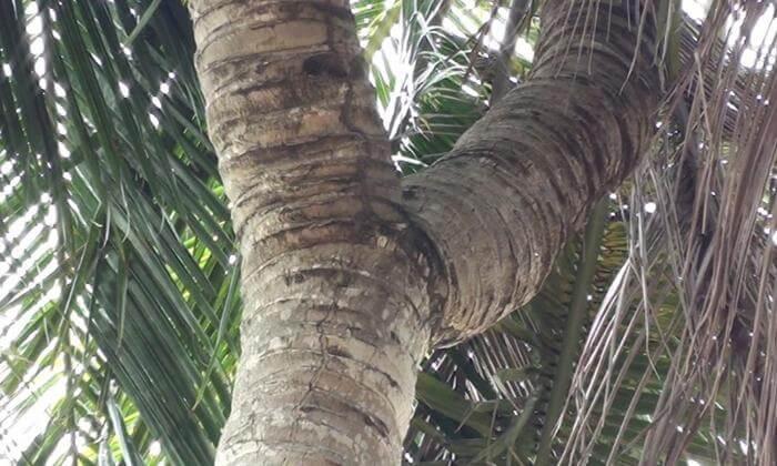 ต้นมะพร้าว