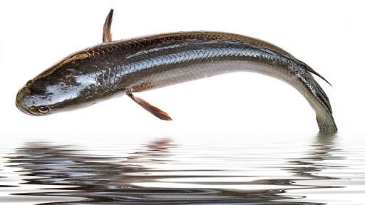 ปลาช่อน