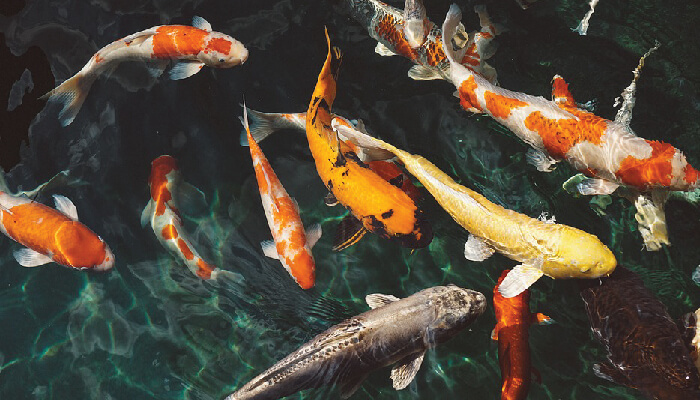 ปลาคราฟ