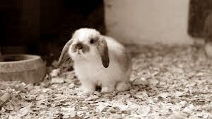 ฝัน เห็น กระต่าย สี ขาว