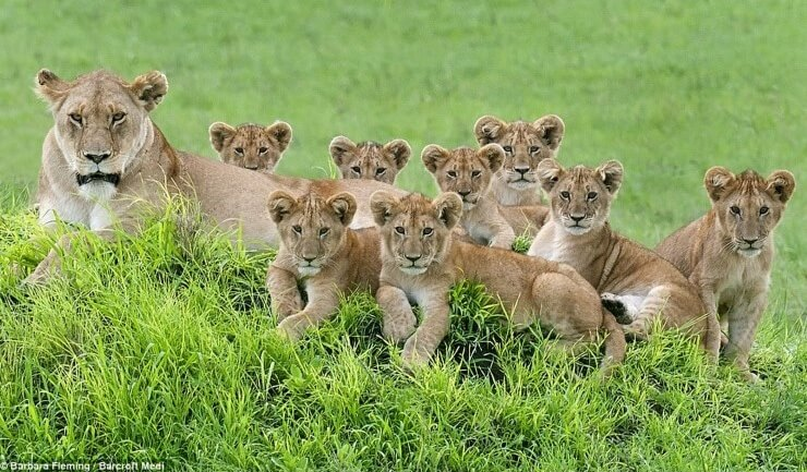 ลูกสิงโต