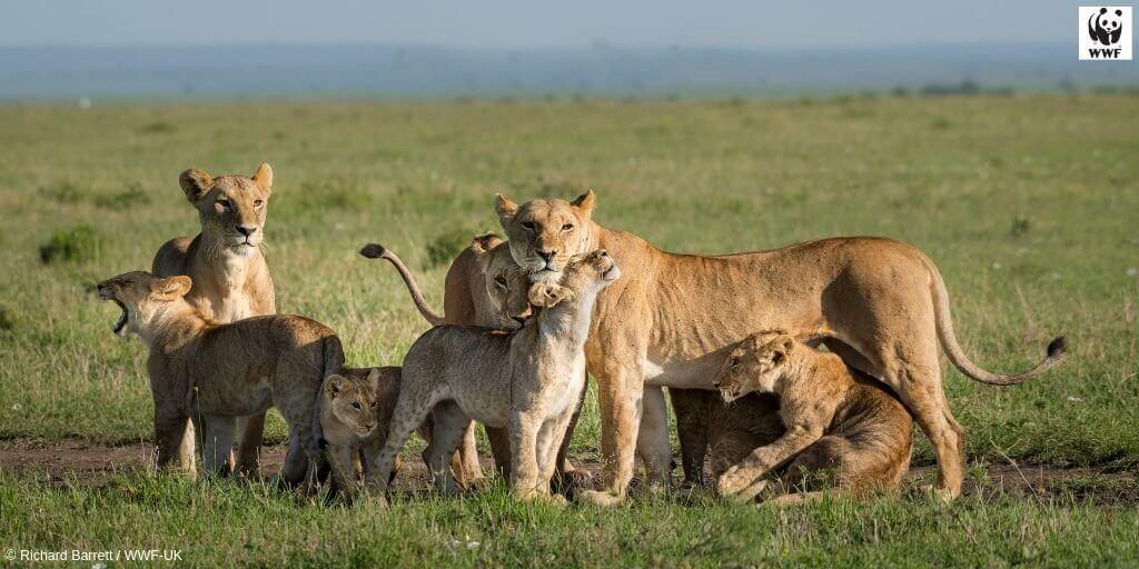 สิงโตหลายตัว