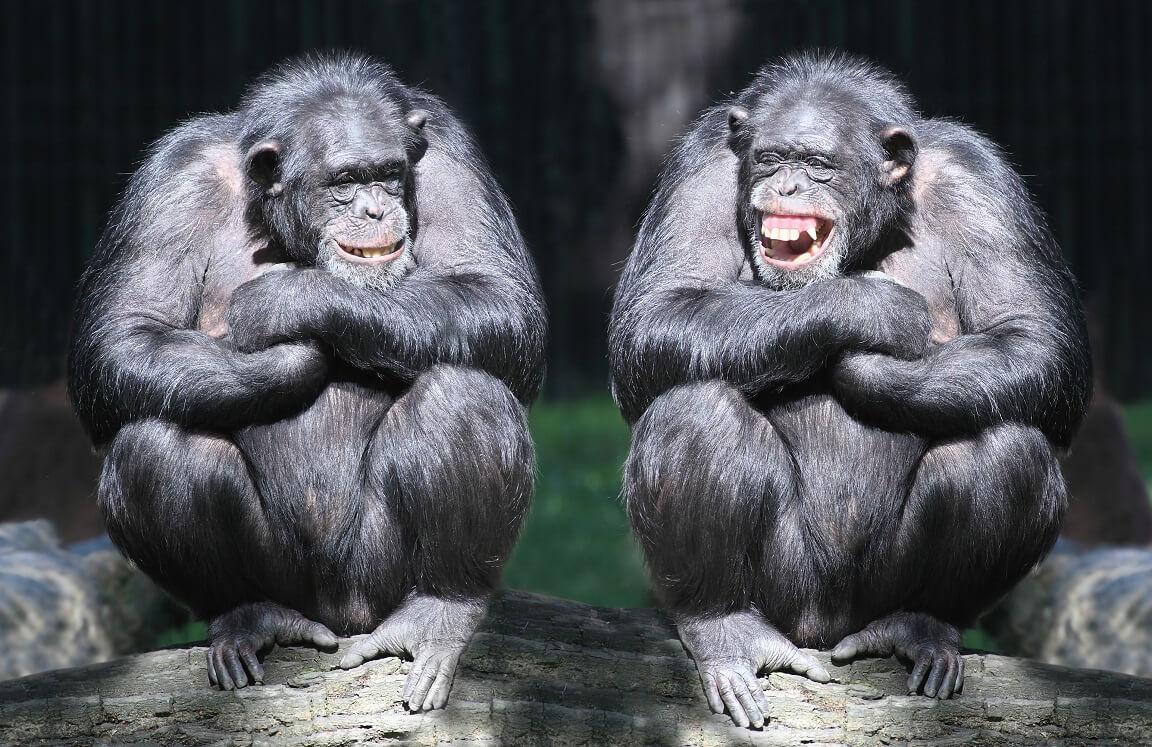 ลิงหัวเราะ