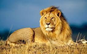 สิงโตตัวผู้