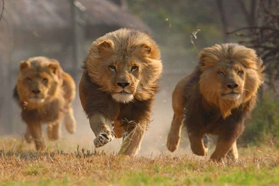 สิงโตวิ่ง