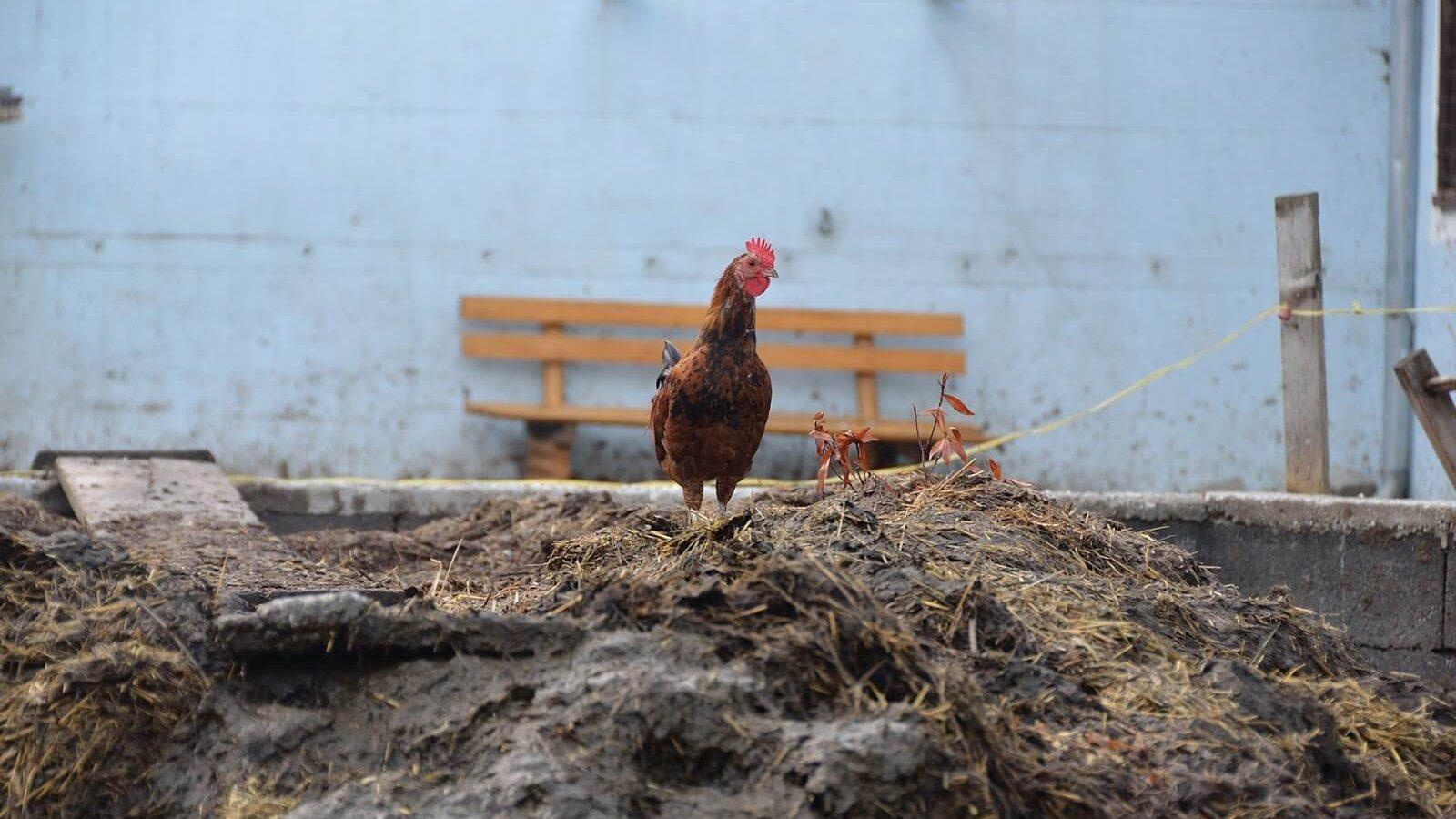 ขี้ไก่